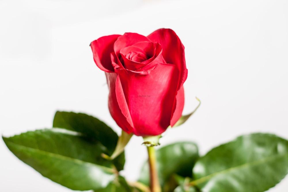 Trojice čerstvých růží v jednoduché vazbě
