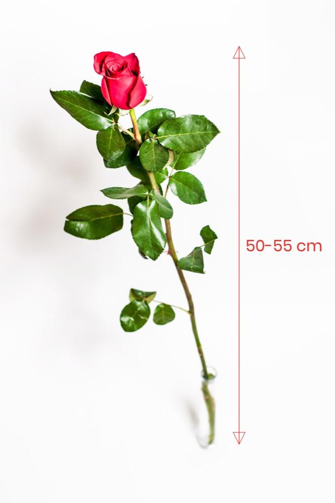 100 RŮŽÍ 50cm